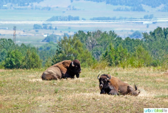 Bison at the National Bison Range in Montana