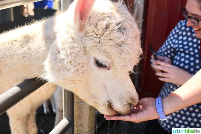 Alpaca Farm Hood River Oregon travel tips on UrbanBlissLife.com