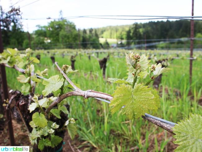 Hawks-View-Cellars-Vines-Bud-Break-Growing-Spring