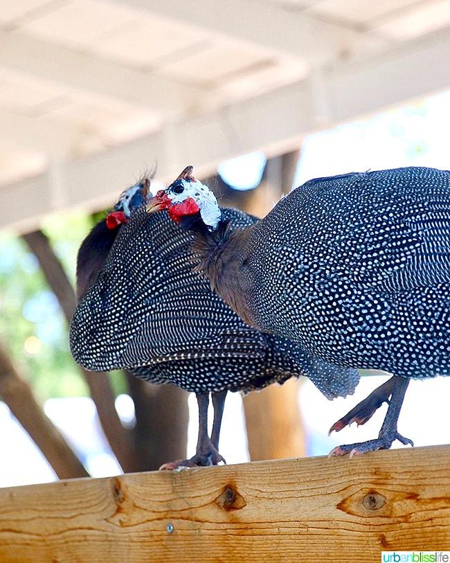 guinea hens at Los Poblanos Inn Albuquerque New Mexico
