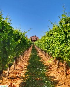 Alloro Vineyard rows leading to tasting house