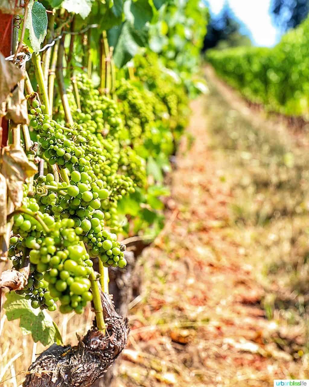 pinot noir grapes summer at Lenné Estate vineyard