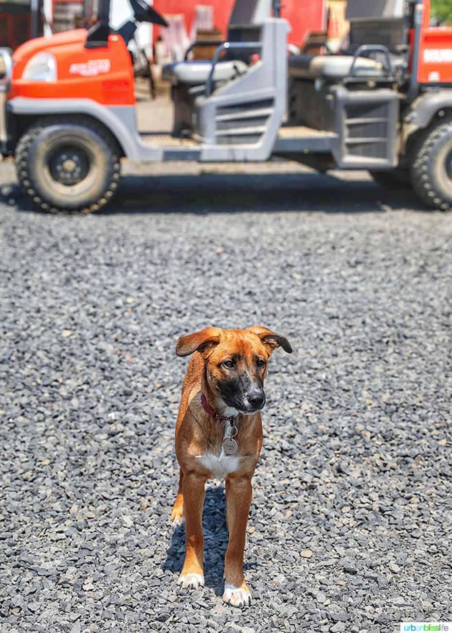winery dog at Utopia Vineyard