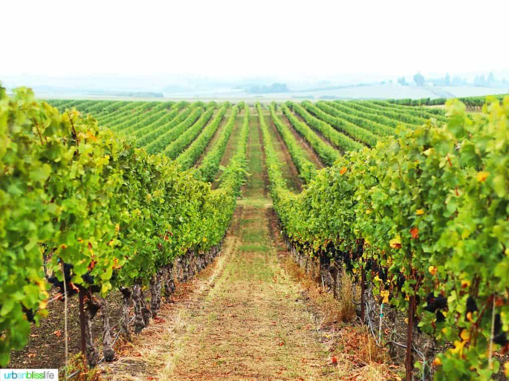 rows of vines at Van Duzer Vineyards Dallas Oregon